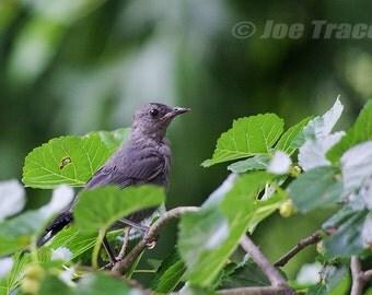 Gray Catbird, Bird Photography, Nature, Wildlife Photography, Bird Picture, Fine Art  Photography