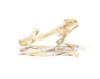 """Frog Skeleton 3-4"""""""