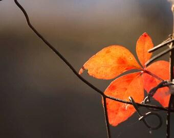 Nature Photography, Fall, Leaves, Lighting, Orange Leaves, Macro, Fence
