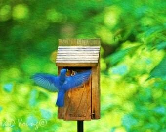 Eastern Bluebird, Male Bluebird, Bird Feeding Baby, Bird Photography, Bird Wall Art, Summer Woods, Fine Art Photography, Songbird Art Print