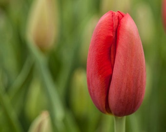 TULIP PHOTO, MACRO Photography, Istanbul Tulip, Wall art Instant Download