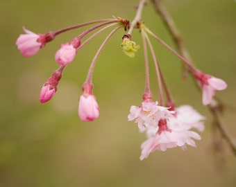 Weeping Cherry Blossom, Flower, Nature, Beauty, Print, Wall Art, Spring, Bloom