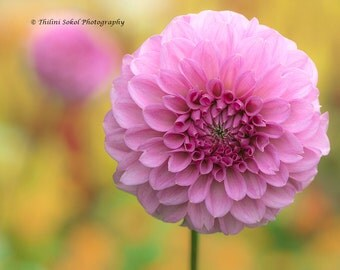 Digital Download Pink Dahlia Flower Petals Fine Art Photography Botanical Instant Download Nursery Picture Wall Art Wall Decor