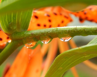 Waterdrops On Lily Photo Canvas