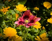 """instant download for commercial use of a """"Wild Poppy"""", ideal for digital prints on mobile covers cards canvas other art"""