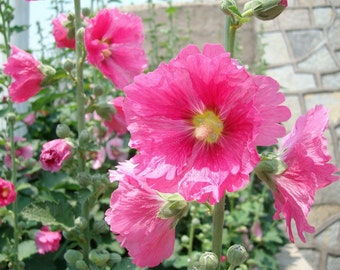 25 Hollyhock Summer Carnival Mix Seeds + Free Gift