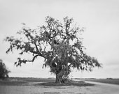 Louisiana Fine Art Photograph -  Black and White Tree - Home decor