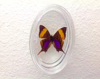 Oval Acrylic Frame with Maripesia Butterfly