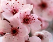 SALE: cherry blossom photography Japanese sakura macro photography floral pink pastel blush pale spring flower blooms wall art 8x10 print