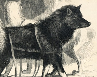 1840s-1850s Antique Engraving of the Esquimaux Dog / Canadian Husky