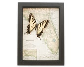 Vintage Map of Florida with real preserved butterfly native to state