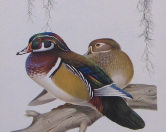 Menaboni's Birds/WOOD DUCK/1950s Color Plate/Bookplate/Unframed Print