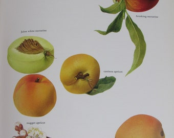 Nectarine/Apricot, Color Plate, 7.75 x 11.5 in, Vintage Book Page Illustration by Marilena Pistoia, Unframed Print