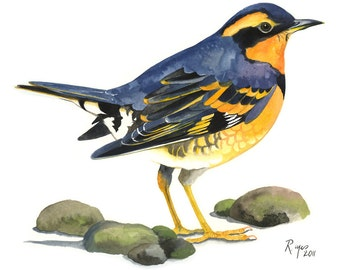 Limited Edition GICLEE MINI Print / Watercolor Painting of a Varied Thrush