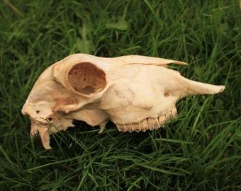 Bigger Sheep Skull - Nature-Cleaned