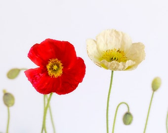 POPPIES, fine art photograph, home decor, flower photograph, red, white