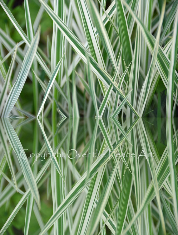 Fine art photography ornamental grass reflection in pond for Ornamental grasses for ponds