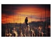 Bird Photography. Red-winged Blackbird. Sunset. Nature photography. Orange Yellow Purple. Home Decor