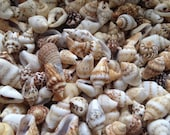 Nassa Dove Sea shells, dove seashells