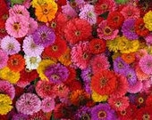 CLEARANCE SALE! Zinnia Giants Top 10 Mix Huge Annual Cut Flowers for Bouquets English Cottage Garden 10 Colors in One Seed Mix