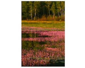 Maine Pond in Morning Light Landscape Photograph Acadia National Park Mt Desert Island Pink Green Color Zen Art Print Nature Home Decor