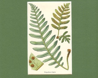 Antique Victorian 1890s Matted Fern Print- Polypodium Vulgare- Common Polpody Fern- Vintage Book Plate Book Illustration Nature Print