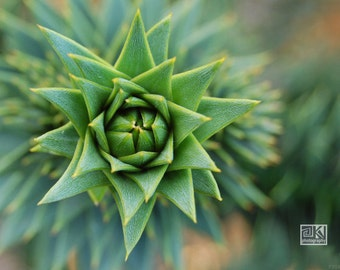 Fresh green star, Nature photography, Araucaria Araucana, Botanical art, Conifer photography, Jade green décor, Green plant photo