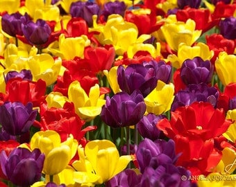 Tulips Photo Canvas  (8x12 / 12x18 / 16x24 / 20x30)