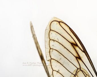 Cicada Wings Photo #1, Fine Art Photography, Nature, Insect Photo, White Decor
