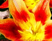 Rembrandt Tulips In Morning Sun , Color Digital Photo, Free shipping, Orange  & Yellow