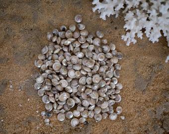 Beach Decor Seashells - Small Polished Pearl Umbonium Shells - 1/2 Cups - for Nautical Decor, Beach Weddings or Crafts
