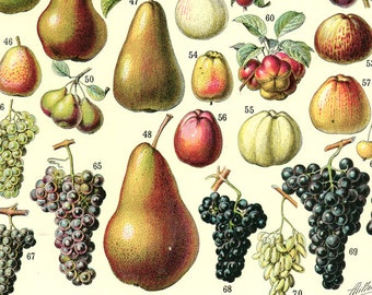1936 Vintage botanical art Vintage Fruit poster French Kitchen decor French country decor Vintage Kitchen art Botanical art Fruit print