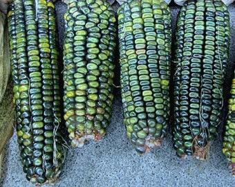 Oaxacan Green Dent Corn, 100 bulk seeds, gorgeous heirloom from Mexico, nutty flavor, cool ornamental, hearty flavor, make green tortillas!
