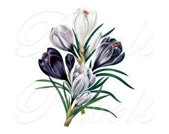 CROCUSES Instant Download digital clipart, wedding image, delicate spring flowers white blue crocus, digital download Redoute no.405