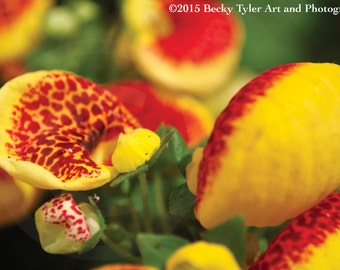 Calceolaria Fine Art Photo Print