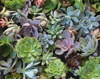 "25 Stunning 1-3"" ROSETTE Succulent CUTTINGS  great for weddings, FAVORS, bouquet, corsage, wreath"