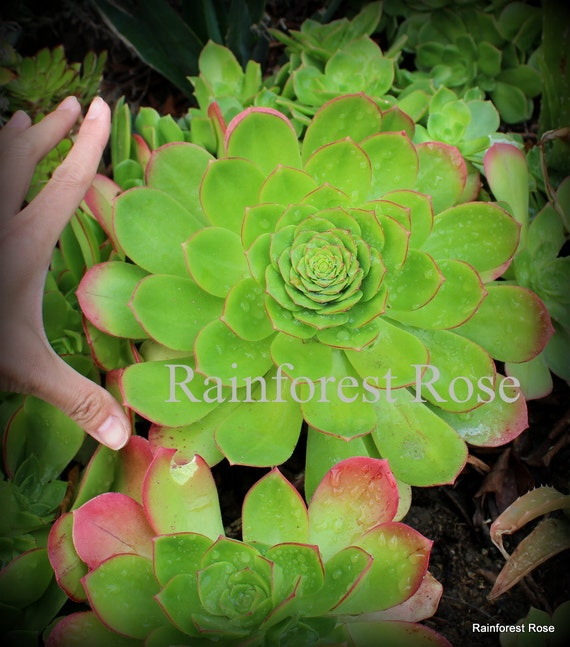 1 aeonium green cutting rosette easy to grow transplant cactus succulents plants from. Black Bedroom Furniture Sets. Home Design Ideas