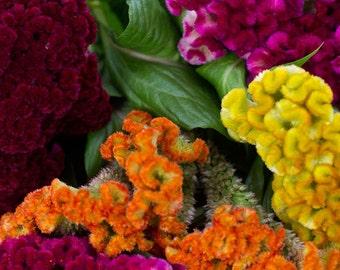 Heirloom Cockscomb Tall Mix Seeds, Velvet Touch, Flower Garden, 25 Seeds