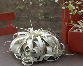 Air Plants - Large Xerographica Air Plants - The Queen of Air Plants - 5 to 7 inches wide - 30 Day Air Plant Guarantee - FAST SHIPPING