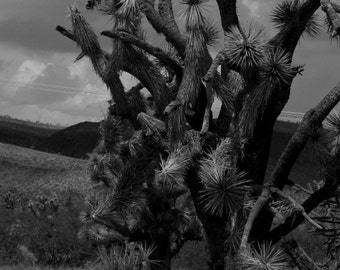 Joshua Tree, Nature Photography, Fine Art Photography, Landscape Photography, Black and White Photographs