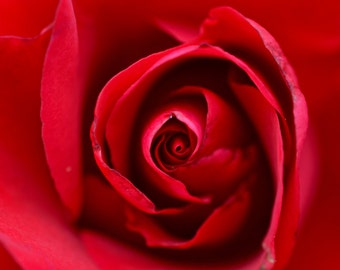 Red Rose | Photography Print
