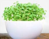DIY Microgreens Garden Kit in Modern White Rice Bowl - Ceramic Mini Planter Seeds Soil Mix