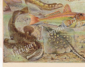 1922 Sea Life, Fishes - Dogfish, Ray, Frog-fish etc. Antique Chromolithograph