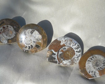 Fossil Shell Knobs