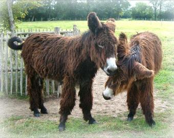 Poitou Donkey Fridge Magnet 7cm by 4.5cm,