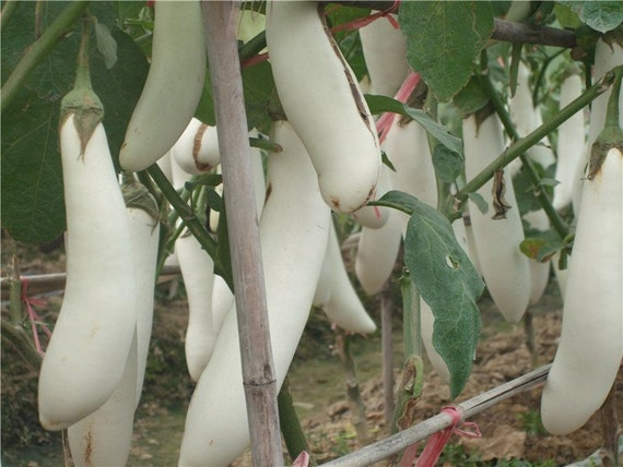 Pure White Long Eggplant Seeds - Asian Type, Very productive - Organic !