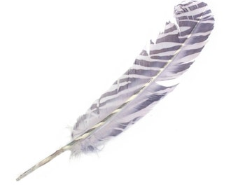 """Wild Turkey Quill Feathers With Stripes 10""""-12"""" ( pack of 6)"""