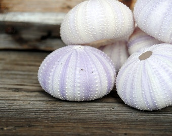 Beach Decor - Light Purple/White Sea Urchins - Set of 4 - Wholesale Seashells - Jewelry - Beach Wedding