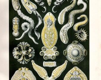 1899 Original Ernst Haeckel Print Platodes Invertebrates Kunstformen Natur 1st ed Pl 75 Antique Print