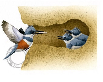 Bird illustration - Belted Kingfisher - bird art, print of original artwork